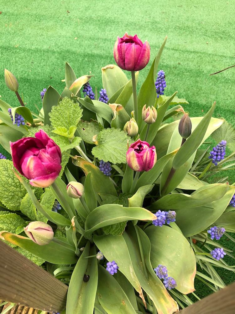 tulipsintub