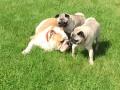 bulldogspugs